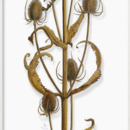 Teasel for finches November 159 x 48 cm