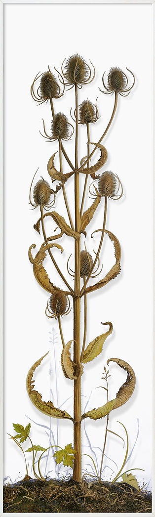 11Teasel-small.jpg