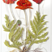 Common Poppy - Papaver rhoeas