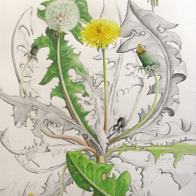 Dandelion 42 x 33 cm