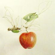 Apple Study 30 x 30 cm