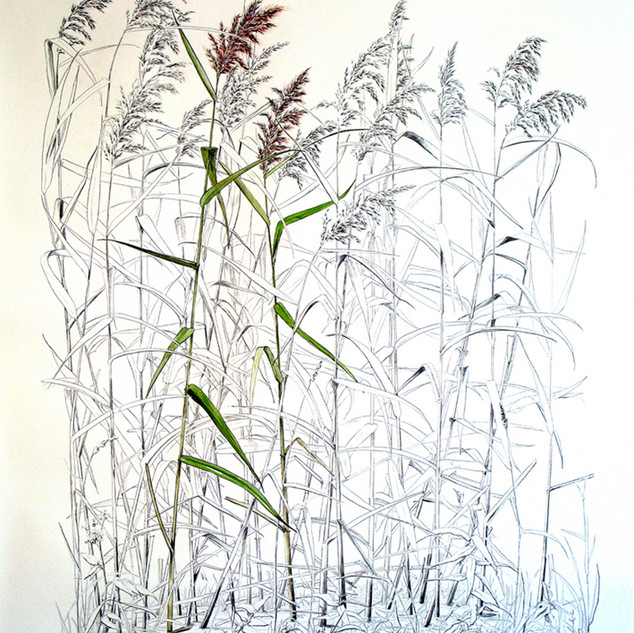 Common Reed 200 x 150 cm