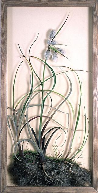 5Cotton-Grass.jpg