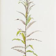 Rosebay Willowherb #1   150 x 55 cm