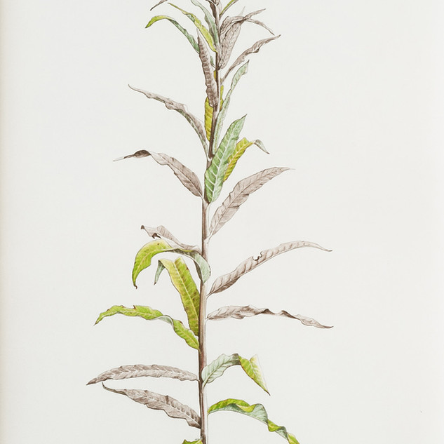Rosebay Willowherb #1   150 x 55 cm