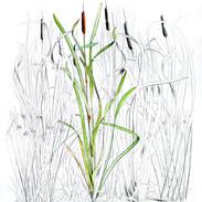 Reedmace 200 x 150 cm