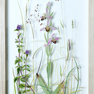 Bee Orchid 62 x 32 cm