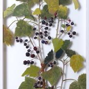 Blackcurrants July  57 x 28 cm