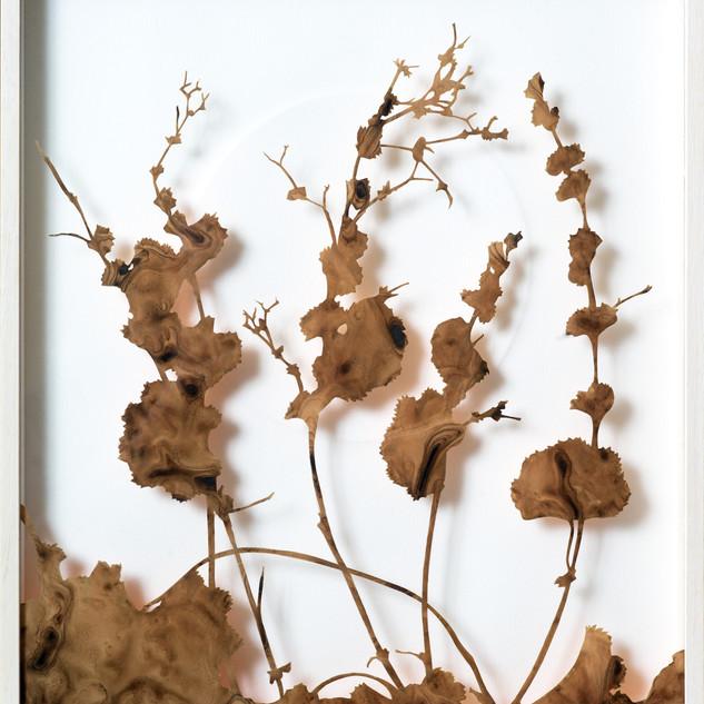 Ladies Mantle Winter Solstice December  39 x 34 cm
