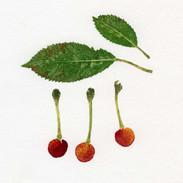 Wild Cherry  15 x 15 cm