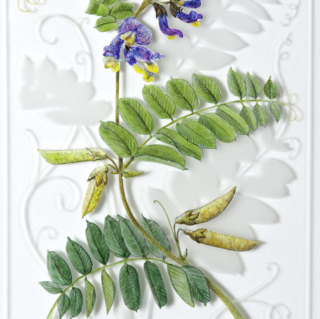 Bush Vetch - Vicia sepium