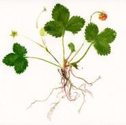 Strawberry  24 x 24 cm