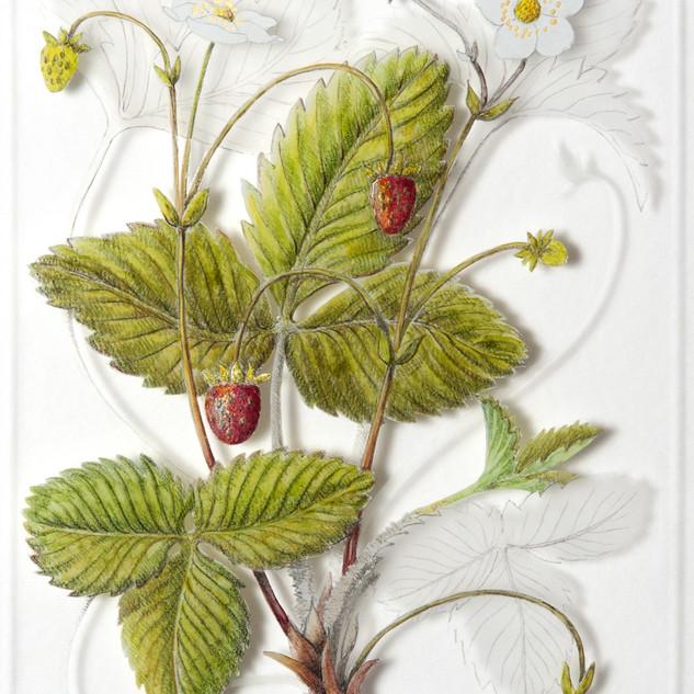 Wild Strawberry - Fragaria vesca