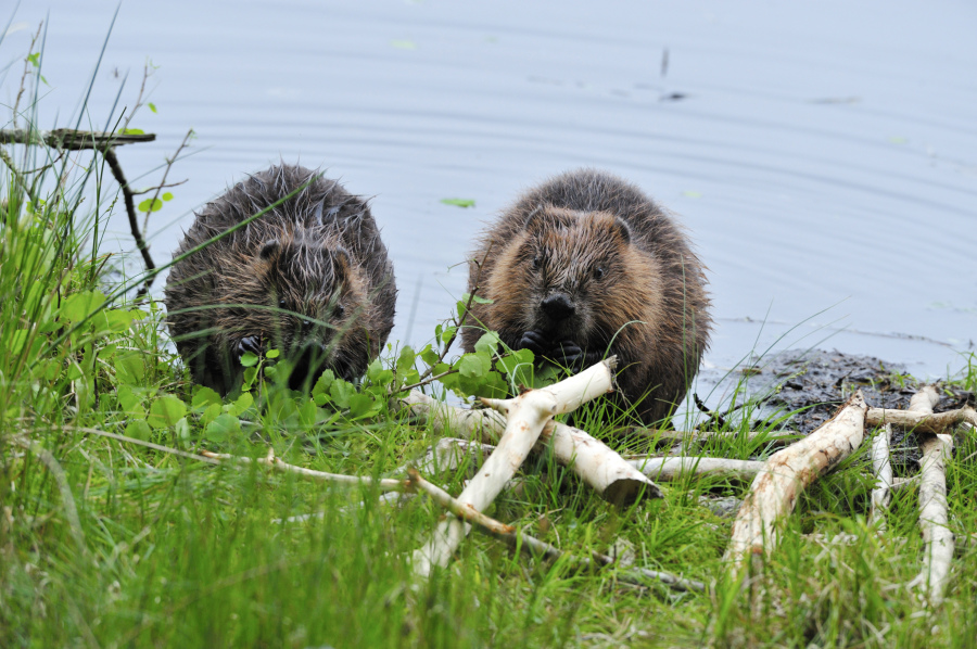 Forestery - 2 Beavers- Knapdale