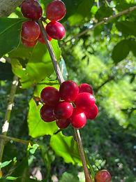収穫前のコーヒー豆.JPG