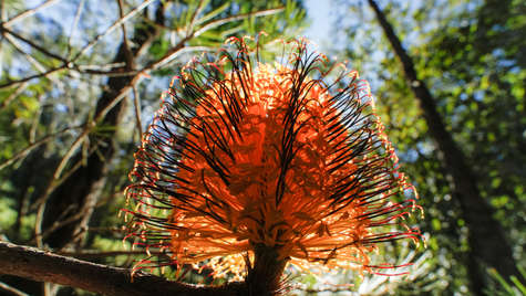 Blazing Banksia