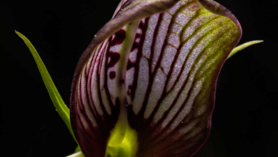 Hooded orchid