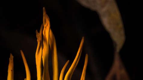 Flaming fungi