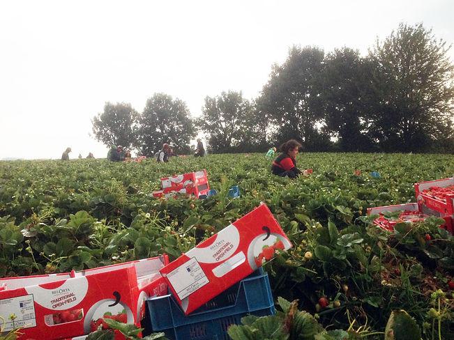 strawberry picking Borgoon.jpg