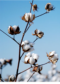Agribody Technologies About Us #2 cotton