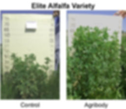 Alfalfa transgenic Agribody Technologies higher yields high quality