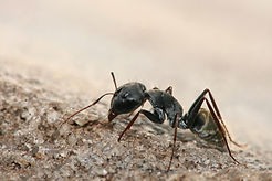 Camponotus_sp._ant.jpg