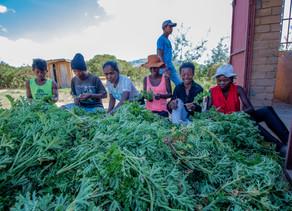 Saison de récolte du Géranium bourbon à Madagascar (Antsirabe)