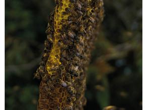 La récolte du miel en Bolivie
