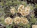 faradifani-helichrysum.jpg