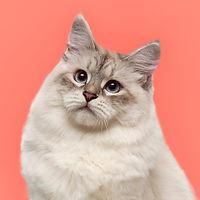 ネヴァマスカレード猫