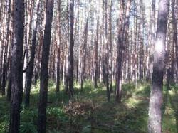 Лес в Боровом.jpg