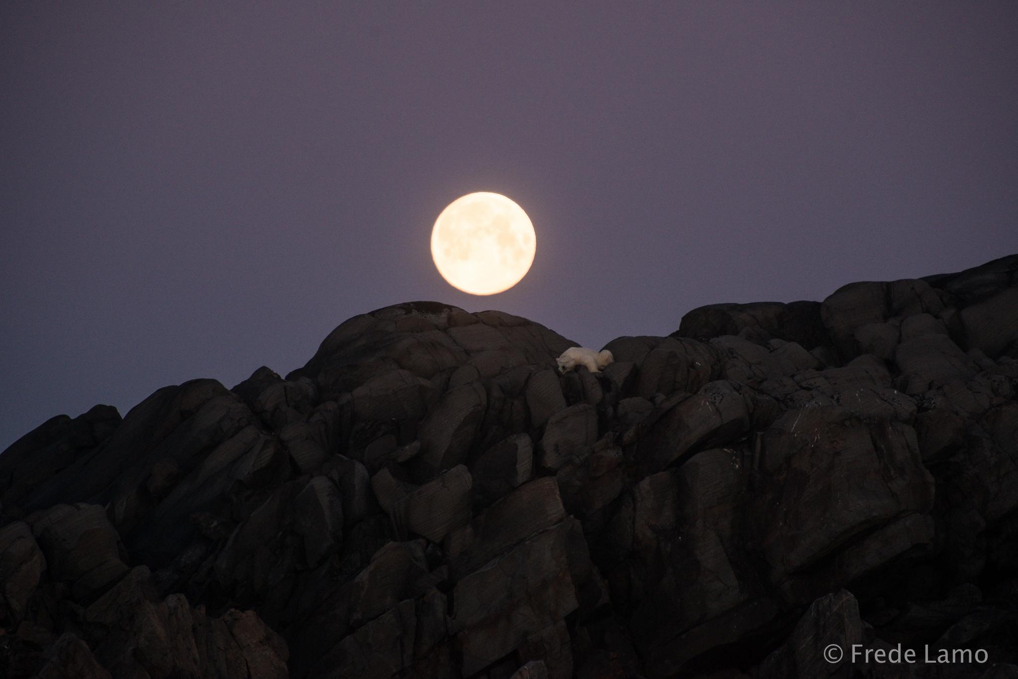 Isbjørn_under_månen.jpg