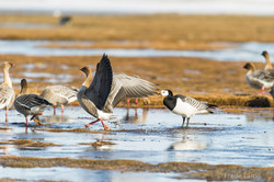 Pink footed goose and Barnacle goose