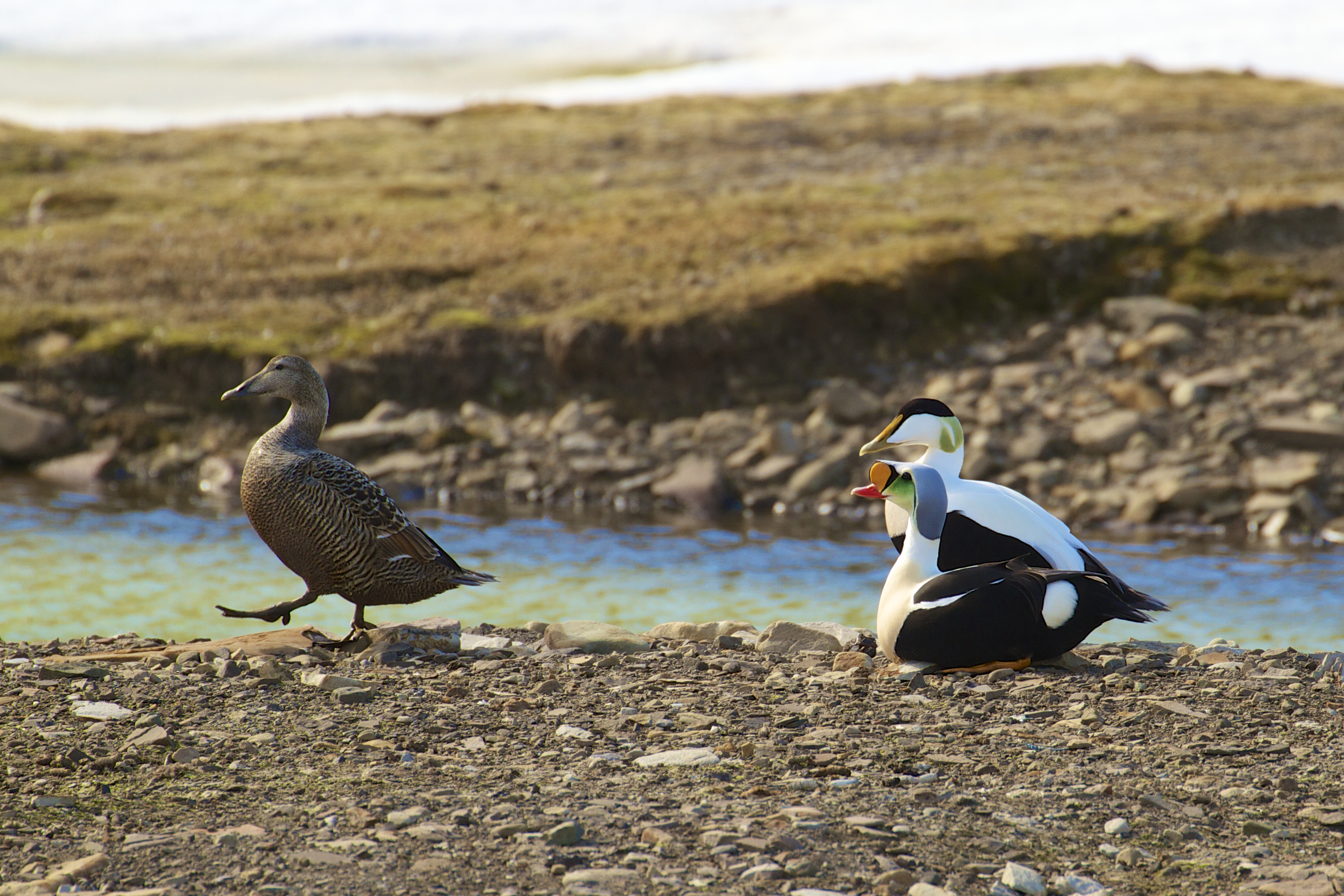 King eider and Common eider