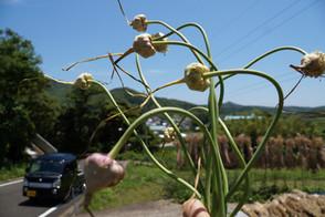 花から種が出来ました🧄