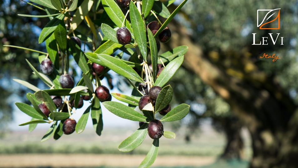 Le magnifiche olive dell'alto tavoliere