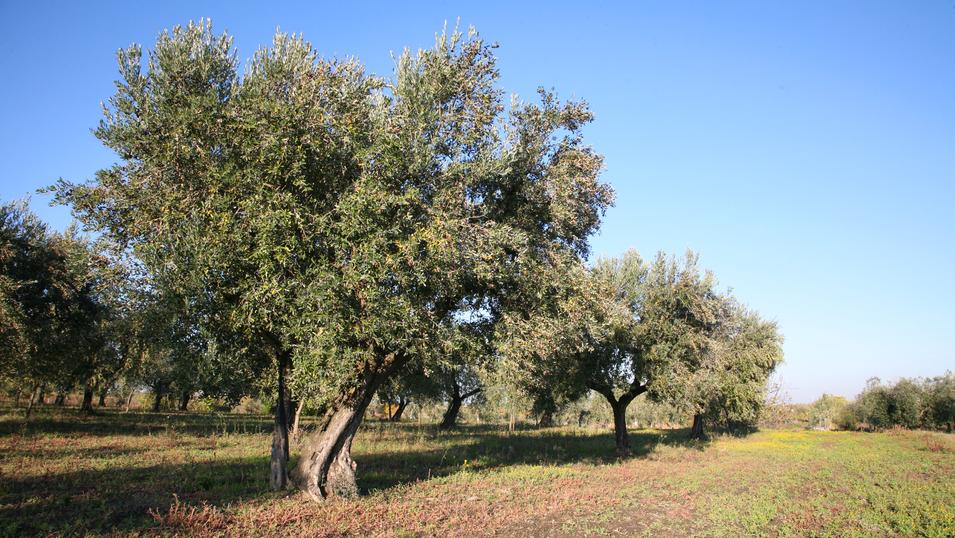 Uliveti di Coratina - Puglia - Olio LeVi