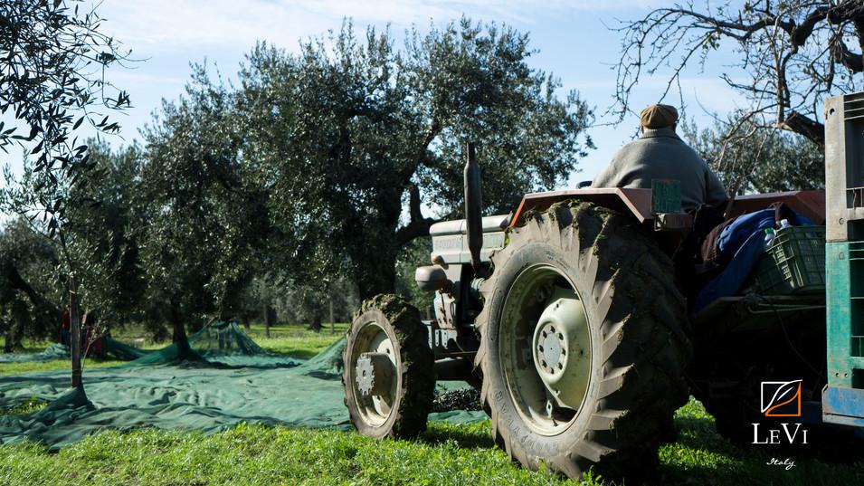 Gli Uliveti di Peranzana e Coratina della Puglia