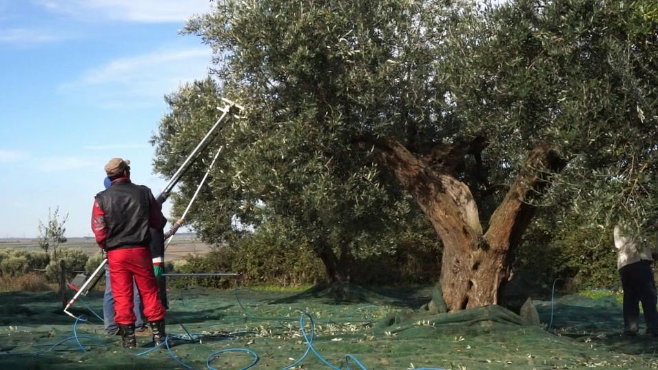 Raccolta delle Olive, negli Uliveti Pugliesi