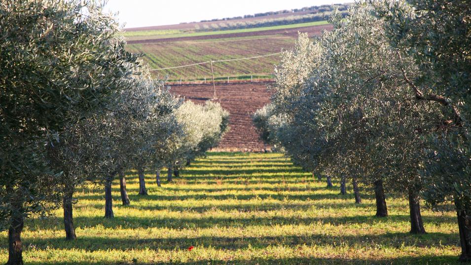 Uliveti alto Tavoliere della Puglia