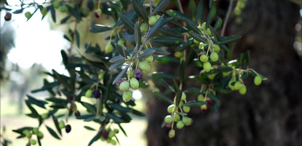 alberi di ulivo, olio extravergine di oliva,
