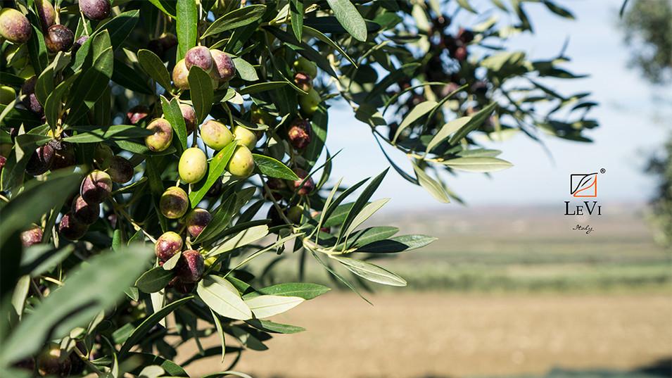Olive di peranzana