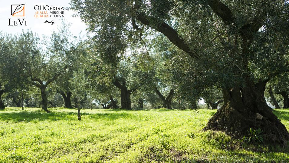 Olio LeVi - la tradizione dell' olio