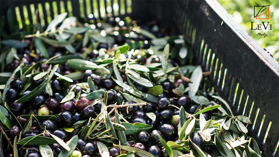 Olive di Peranzana appena raccolte