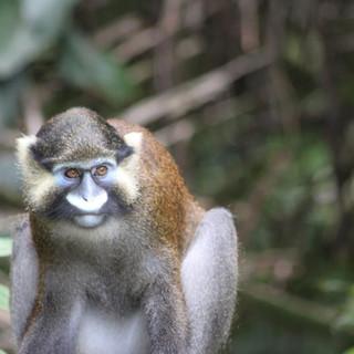 Moustached Guenon