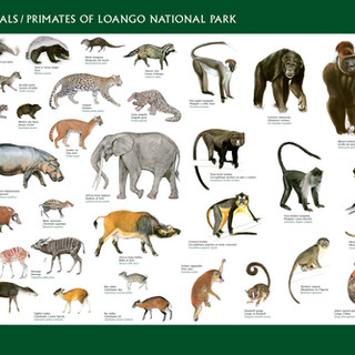 See Wild Travels mammals primates Loango National Park Gabon