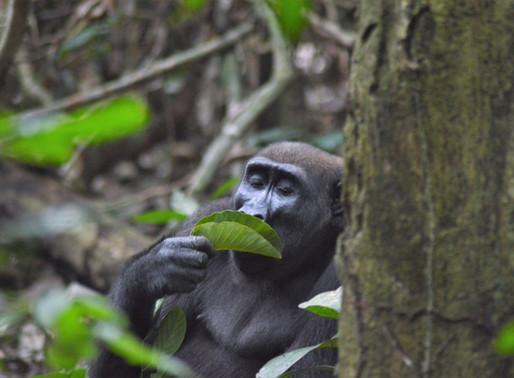 Update on Gorilla Trekking & Tourism in Loango, Gabon