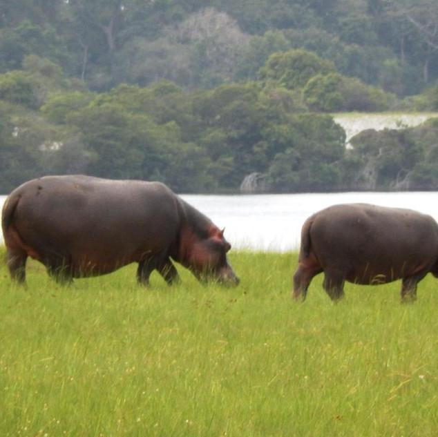 Hippos in the savanna opposite Loango Lodge
