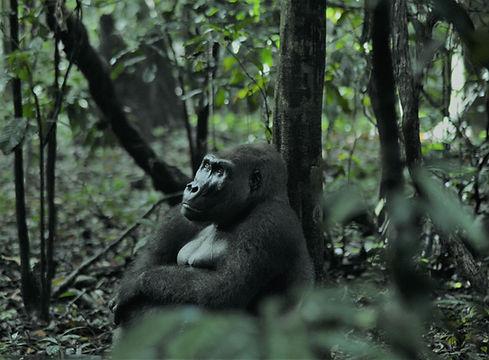 Silverback Gorilla Loango Zambia