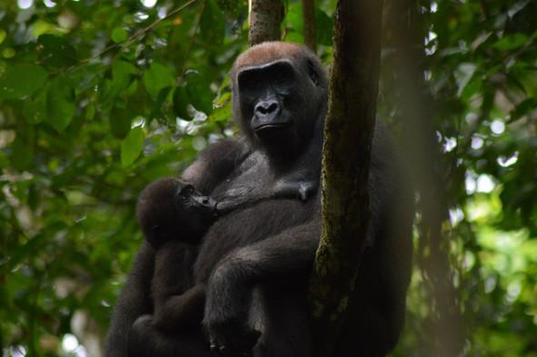 Western Lowland Gorilla Mother & Baby